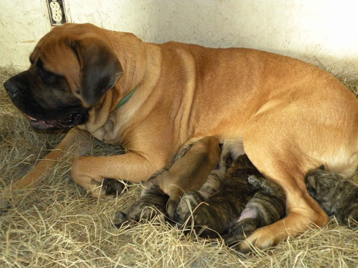 AKC English Mastiff puppies for sale - Champion Bloodlines ...