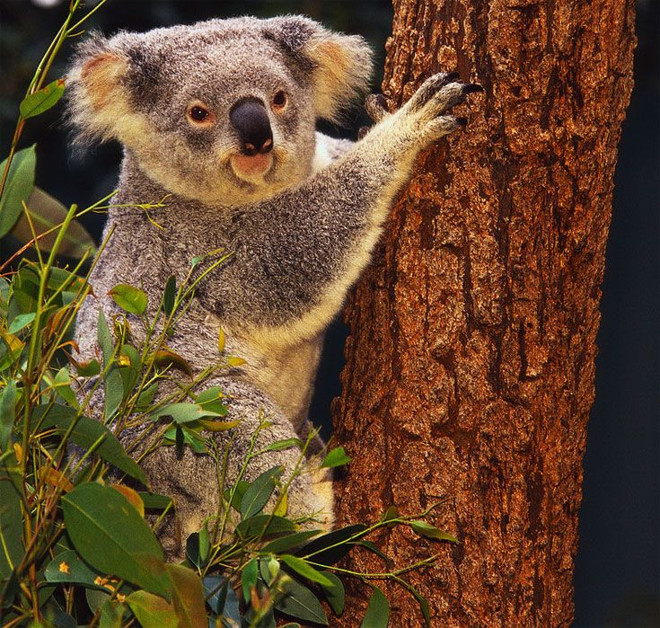 I have always wanted to see koala bear up close and personal! http://www.tangerinetravel.com/  #tangerinetravel #dreamvacation