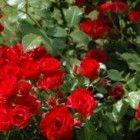 Lang bloeiende planten geven een tuin maanden kleur
