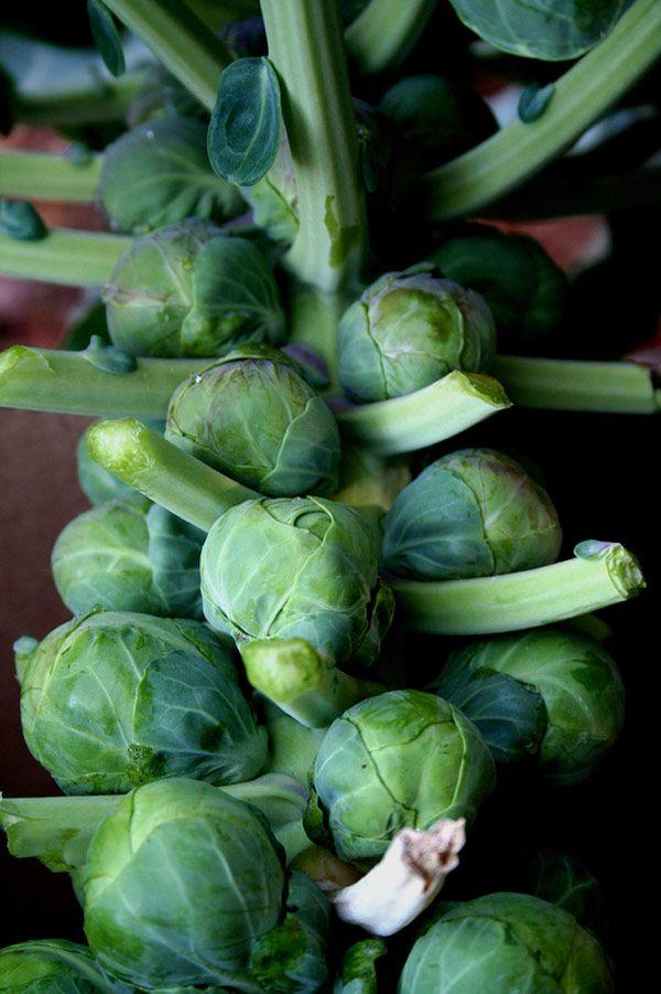 30 best grow & assess : brussel sprouts images on pinterest, Gartenarbeit ideen