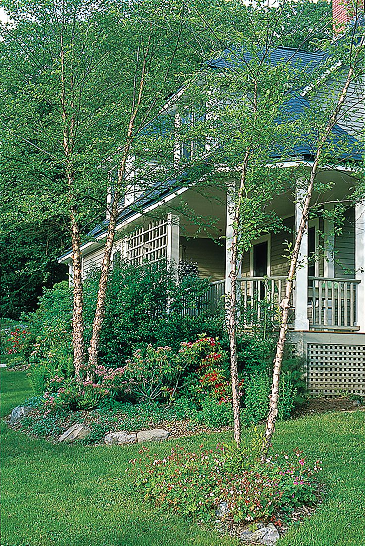 Best 25 Betula Nigra Ideas On Pinterest Deer Resistant