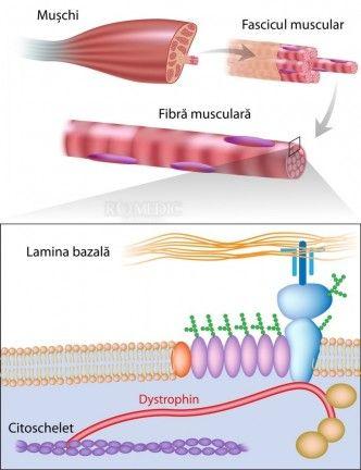 Structura mușchiului