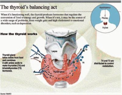 what are the main functions of the thyroid gland