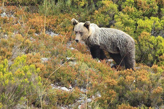 La Cabrera podría albergar una nueva población de oso pardo