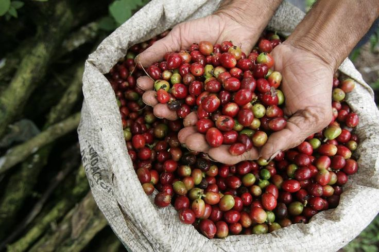The best Indonesian coffees come from the prime coffee-growing region of Sumatra, Sulawesi, and Java Arabica. In general these coffees are known for their full-bodied, rich taste and vibrant yet low-toned and gentle acidity, and long finish/aftertaste. #coffee #indonesiacoffee #indonesia #arabica #travel #tour #coffeebeans