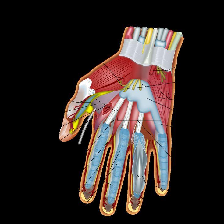 туристов фото кистей рук анатомия актуальную