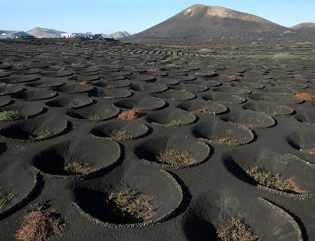Lava fields of Lanzarote Island, Spain The winegrowers of Lanzarote work on…