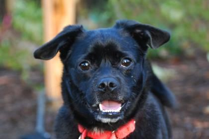 Meet Pizza, a 4-year-old black and white Pug/Cardigan Welsh Corgi mix. Pizza has a tail that curls around to touch his back, a great underbite and a winning smile. Pizza jumps for joy at the thought that you might want to take him for a walk. Once outside, he's easy to walk on a leash and he takes it all in, watching construction of a fence, sniffing here and there; he'll teach you to take the time to smell the roses. PIzza was ADOPTED! from Seattle Humane, January 2018