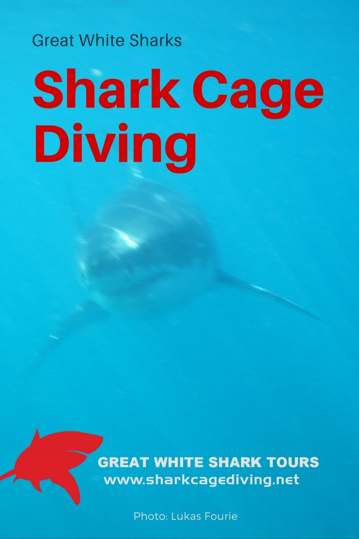 Have you noticed that sharks travel without passports? Gansbaai white sharks have been documented in Mozambique, near Marion Island, Madagascar, even Western Australia! Next time you see a shakr for inside the cage, just remeber he might have just come back from visiting family in anouthe ocean!