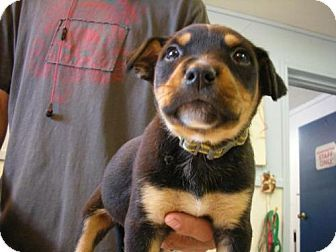 Eureka Springs, AR - Rottweiler. Meet Helios, a puppy for adoption. http://www.adoptapet.com/pet/18101651-eureka-springs-arkansas-rottweiler