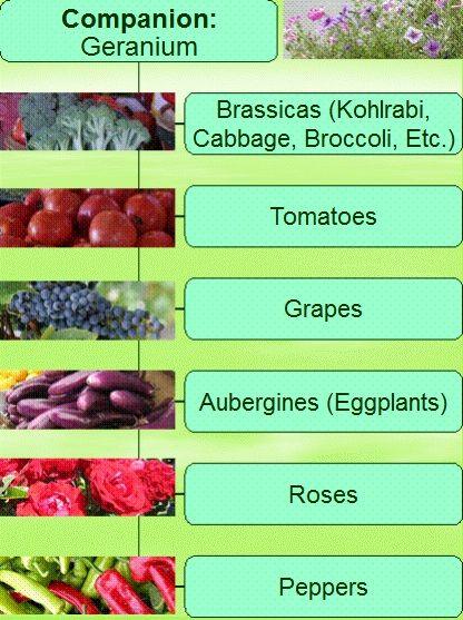 Companion Planting with Geraniums