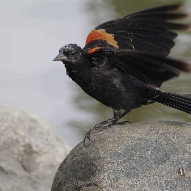 #redwingblackbird #redwing #birdsofinstagram #birdphotography #naturephotography…