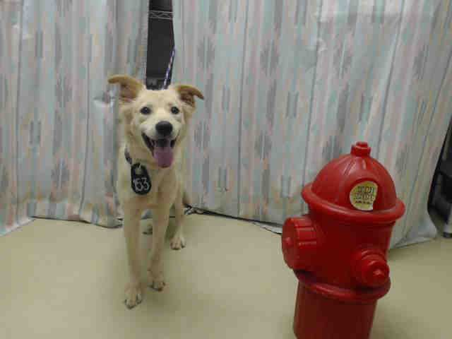 Houston~KING - ID#A413763 My name is KING. I am a male, gold Golden Retriever mix. My age is unknown. I have been at the shelter since Aug 22, 2...