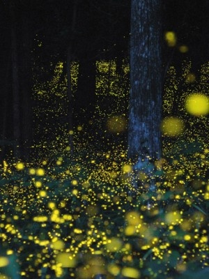 Japanese photographer, Yuki Karo  capturing fireflies with the exposure of the camera open, picking up the trail of wonderful lights.