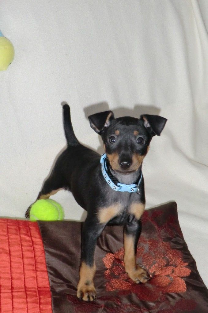 English Toy Terrier: English Toy Terrier Puppies Cute ~ petsrank.com Dogs Inspiration
