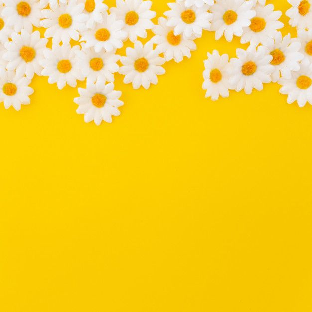 Download Pretty Daisies On Yellow Background With Copyspace At The Bottom For Free Flower Background Wallpaper Yellow Background Daisy Wallpaper