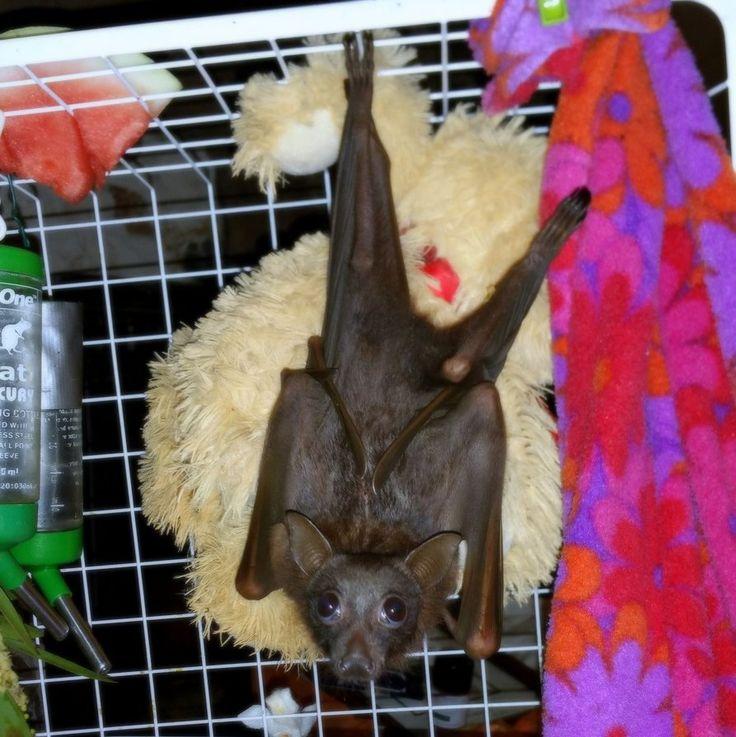 Rehab Megabat Little red, Flying-fox, Fruit bat More pics http://www.batsrule.info/2016/04/rehab-megabat-little-red.html #batsrule #bats #megabat #flyingfox #fruitbat