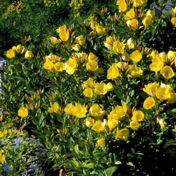 Natlys - Oenothera tetragona 30-50 cm mellemhøj staude. Blomstrer i juni-september måned. Små gule blomster. 6 pr. kvm. Trives i fuld sol. Vokser i god næringsrig havejord. Middeltvoksende, opret og fuldt hårdfør staude.