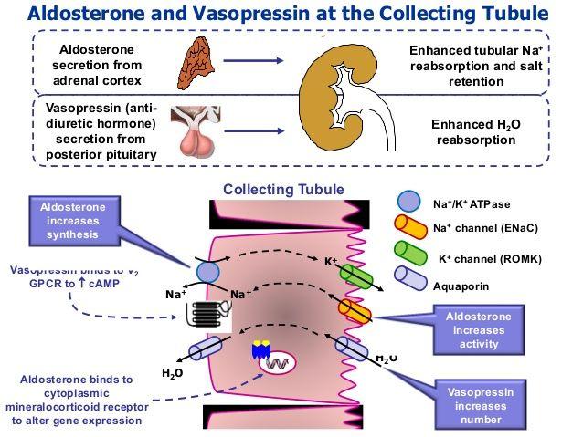 Image result for aldosterone vs adh | Anatomy class ...
