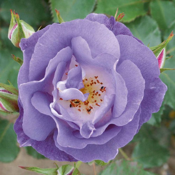 Rose 'Blue for You' (Floribunda Rose). The best blue rose yet! With a lovely, fruity fragrance, this compact floribunda rose bears stunning semi-double, lilac blue blooms over a long period. A neat bushy habit makes Rose 'Blue for you' easy to care for and a lovely addition to mixed borders. Height: 80cm. Spread: 65cm.