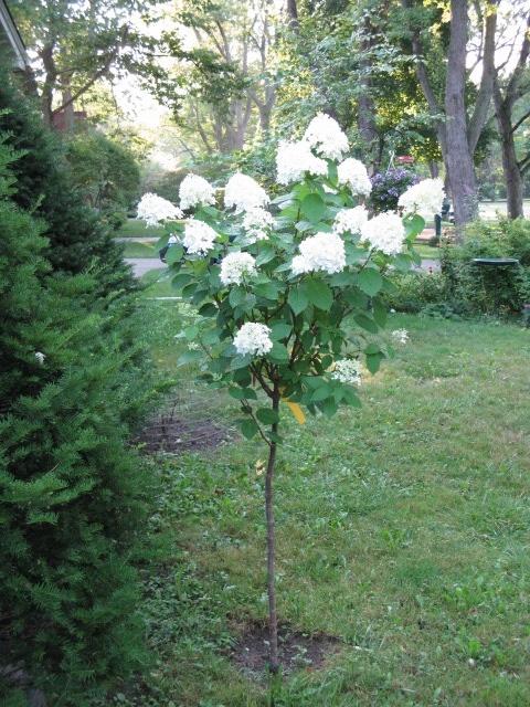 87 Best Limelight Hydrangea Tree Images On Pinterest