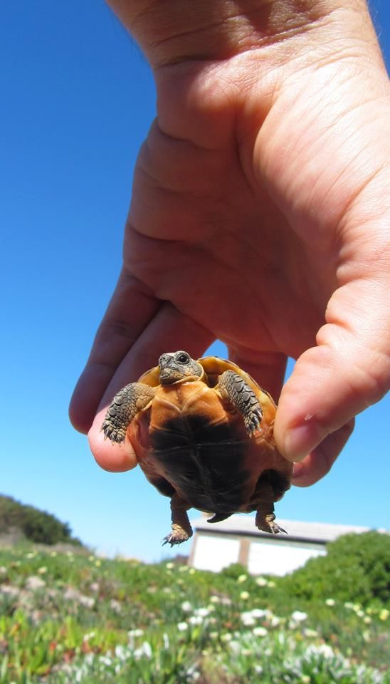 TINY TORTOISE - Found this little guy wandering around in our garden, had to share, too cute!