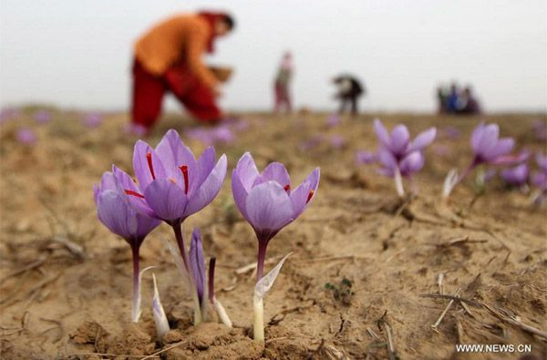 saffron flower harvest in Indian-controlled Kashmir