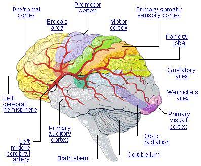11 best brain neuro stuff images on pinterest neurology medial surface of the brain cranial arteries anterior artery circulation carotid artery ccuart Gallery