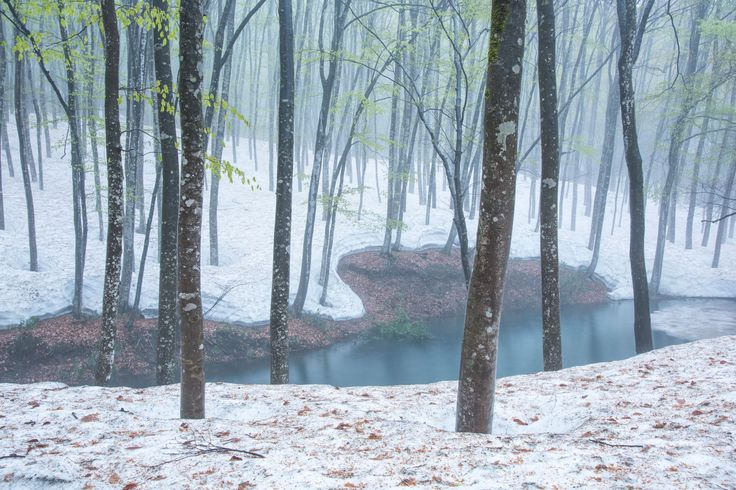 Picture of snow covered Snow covered beech forest.