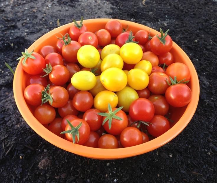 Autumn day harvest - Cherry Tomatoes