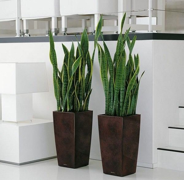 25 best ideas about snake plant on pinterest plants indoor plants low light and low light. Black Bedroom Furniture Sets. Home Design Ideas