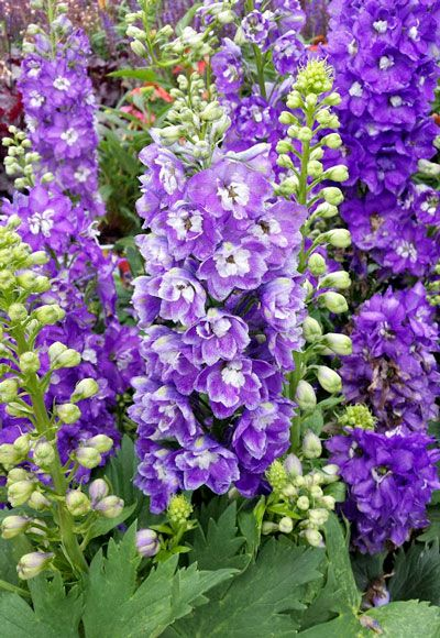 Dramatic delphinium is planted at the back or middle of the border, the better to show off its striking spikes of blue or purple (or both!) blooms. The tall stems may need support to make it through the season. Check out our Garden Club post on staking plants.