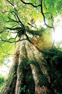 屋久島(縄文杉)