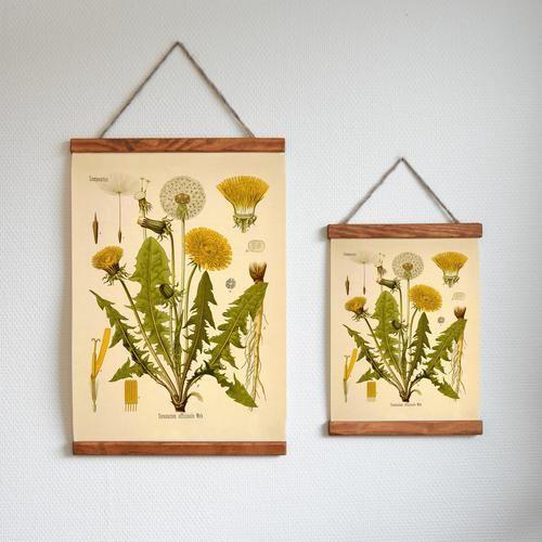 Maskros | Dandelion | Poster | Skolplansch | Plants | Biology | Sweden