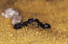 Combine pest control techniques to eliminate small black ants.