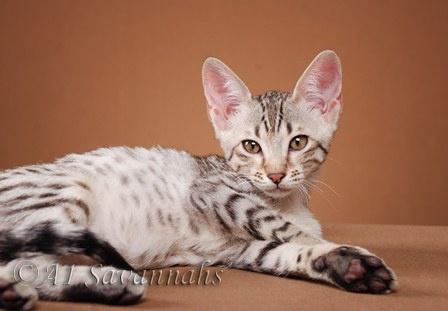 F5 Savannahs F5 Savannah Cats F5 Savannah Kittens