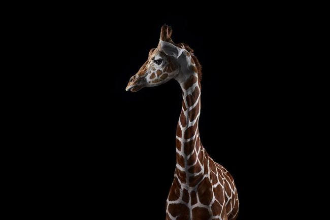 """""""Affinity"""" ~ Incredible Close-up Studio Portraits of Wild Animals"""