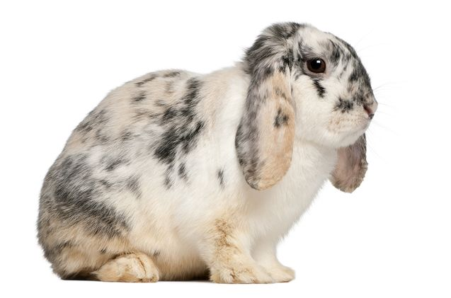 The French Lop is a large breed of rabbit that makes for a wonderful pet, due to their calm, docile temperament.