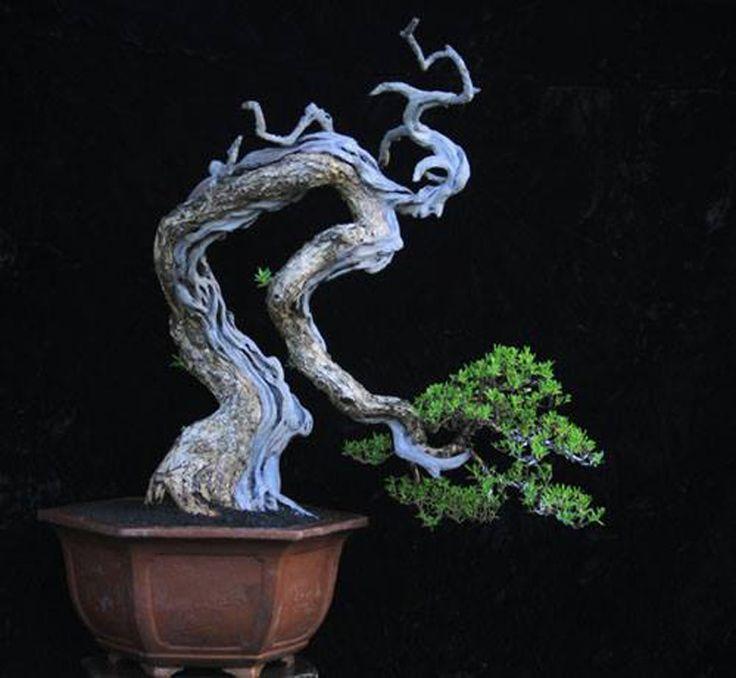 BONSAI JUNÍPERO -MADEIRA EXPOSTA. Curioso trabalho de modelagem a aparentar uma pessoa. Abstraindo-se da descrição da modelagem, é um bonsai semi-cascata