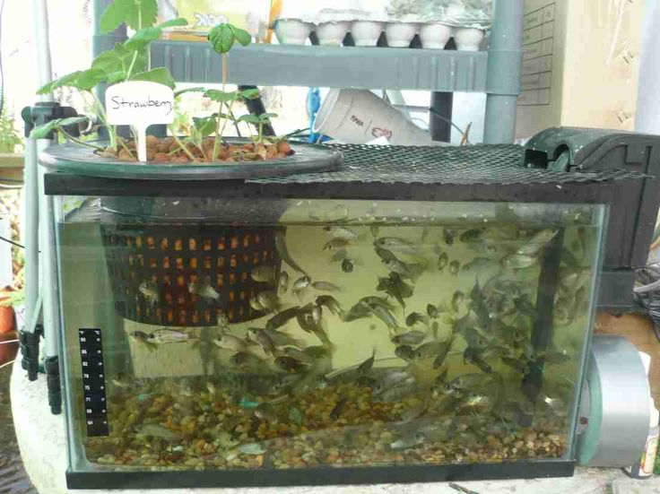 46 best diy aquaponics images on pinterest aquaponics for Hydroponic fish tank