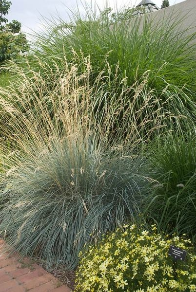 17 best images about garden grasses ornamental on for Blue fountain grass
