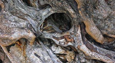 Olivenbaum kaufen | Tojas Mediterraner Baumhandel | Sortiment | Olivenbaum | Ölbaum | Verkauf | Pflege