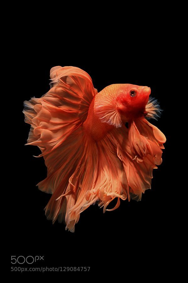 cathystefani:  Orange betta fish Isolated on black background Siamese fighting fish Isolated on black background by note_yn http://500px.com/photo/129084757