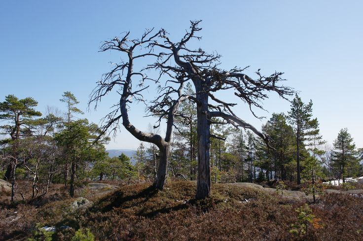 Two dead pine trees on the top of Geitebuvarden in Skien, Norway. #nature #telemark #norway #norge #natur #pinetree #hiking