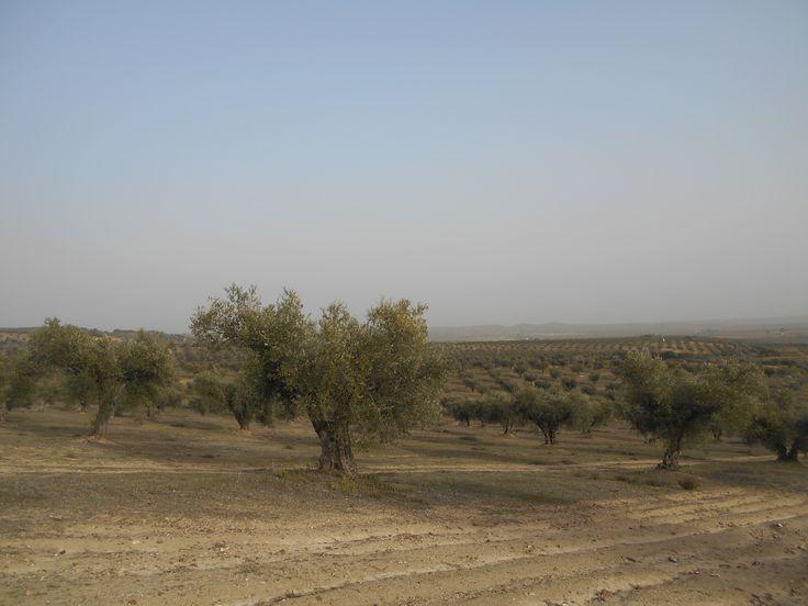 Mar de olivos junto al Castillo de Villalba