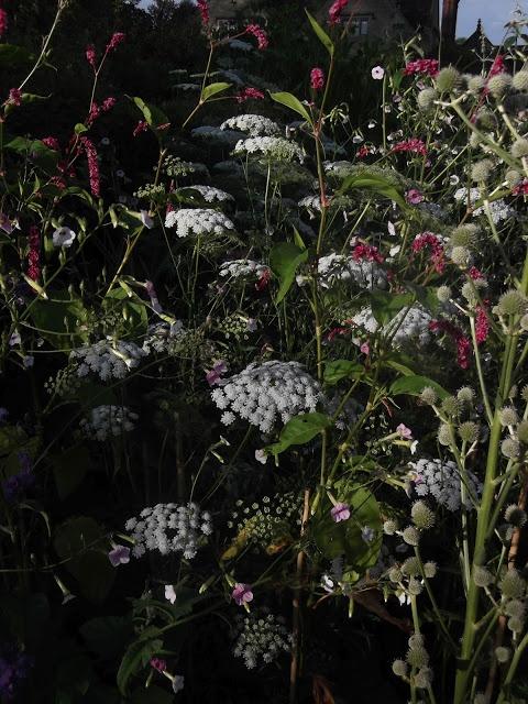 Ammi majus, Persicaria orientalis and Eryngium yuccifolium, by What ho Hidcote