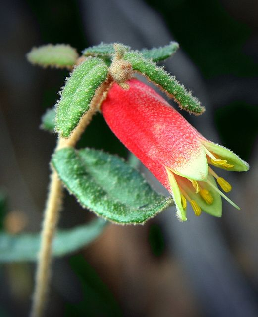 ♥ Blandfordia punicea ~ Tasmanian Christmas Bell