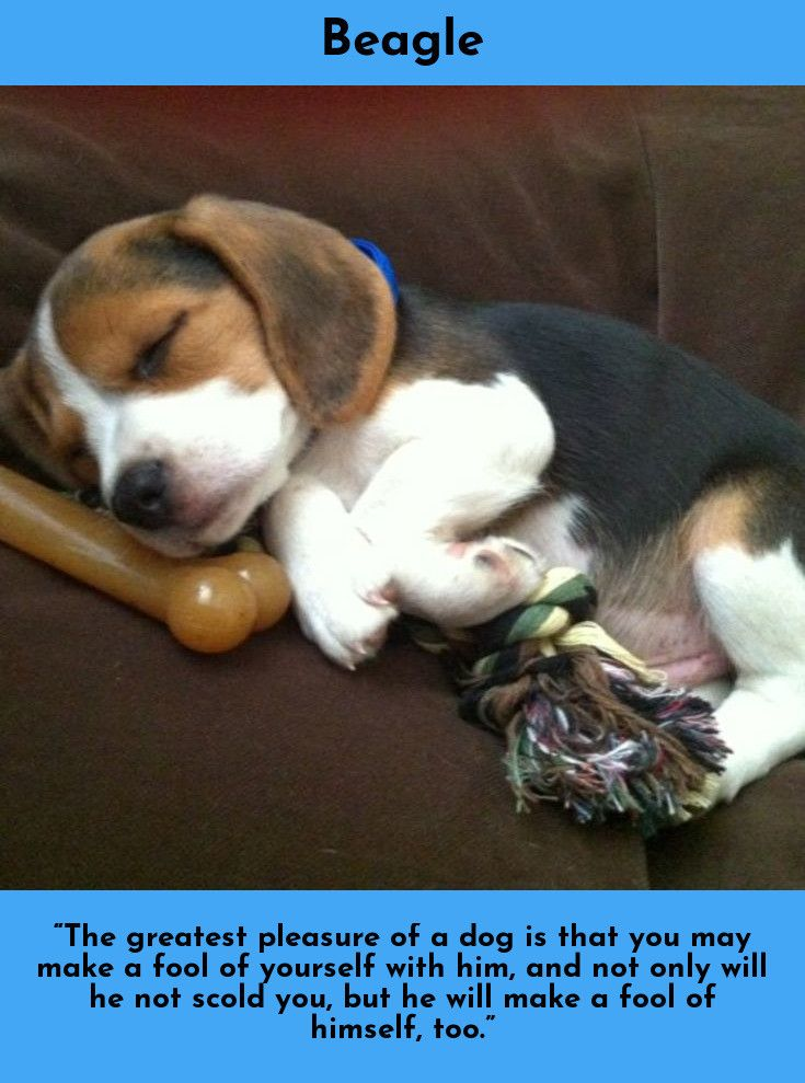 7 Best Dogs Breeds For People Allergies Cute Beagles Beagle
