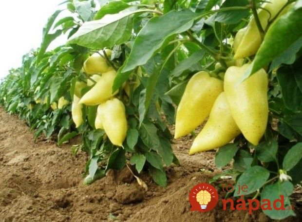 Papriky vám môžu rásť celé roky, ak použijete tento trik starých pestovateľov!