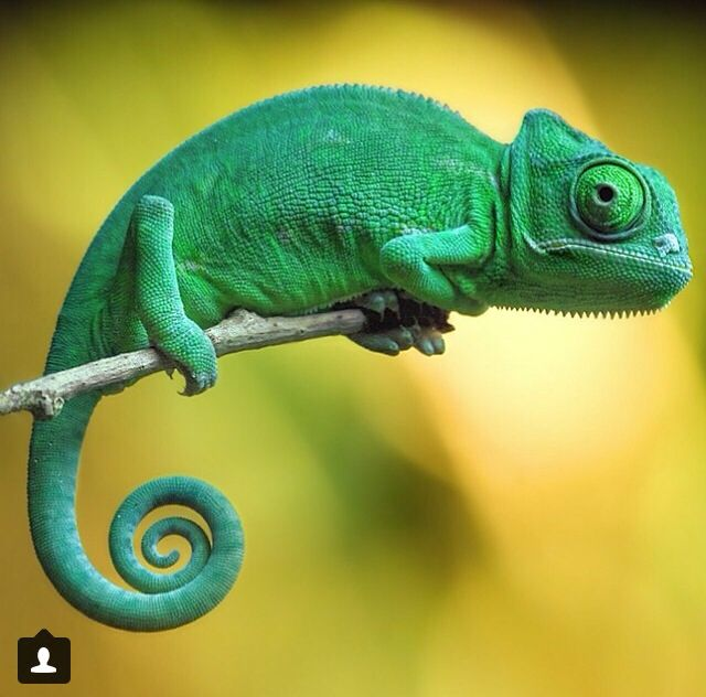 """Chams are great pets for the newer vivarium owner! They MUST have a moving water supply like a """"drip leaf"""" or small fountain. Mine LOVED mealworms and the occasional cricket. They're friendly, docile and easy to hand tame."""